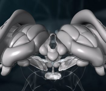 3D-Animation | Gehirn, Diencephalon