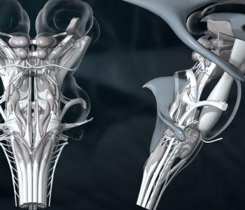 3D-Animation | Gehirn, Hirnstamm