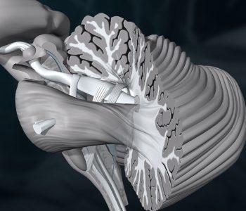 3D-Animation | Gehirn, Kleinhirn