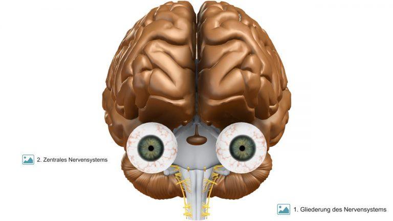 VR-Gehirn | Frontalansicht